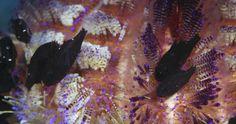 601959999-echinothurioida-cardinal-fish-sea-urchin-soft-coral.jpg (1024×540)