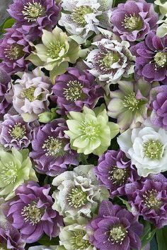 ~~Hellebore Helleborus Sp Flowers by VisionsPictures~~