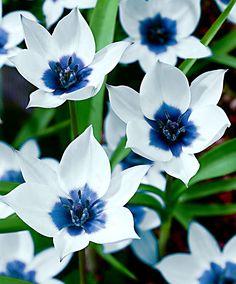 Botanikai Tulipán 'Alba Coerulea Oculata'. Áprilisban virágzik. Nem nő magasra, magasság max. 10 cm lehet.