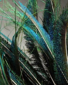 Peacock Sword Feathers 30-35in (Pack of 100)