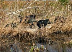 """Outdoor Scene"" Sat.6:am & Sun.9:am WNRI.COM or 1380 AM: Louisiana Wild Feral Pig Problem Cured with Gummy ..."