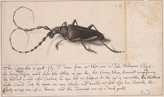 Goatte Fly. Alexander Marshal, 162?-1682, was chiefly known as an illustrator of flowers and plants. In 1980, his expertise in painting insects also came to light, through this album of insect drawings. The album consists of 57 pages containing 129 watercolors of insects: butterflies, moths, caterpillars, beetles, locusts, spiders, flies, and crickets. The backs of Marshal's drawings contain notes in his own hand.