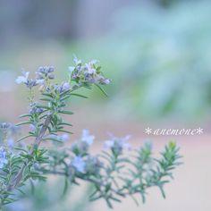 #ローズマリー#Rosemary