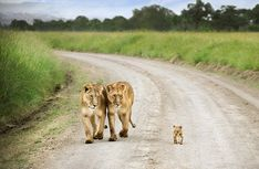 Motherly love: David Lazar of Australia perfectly captures the adoring expressions on the faces of these lionesses as the baby cub walks ahead of them.