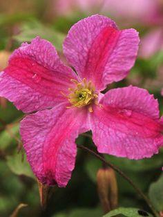 Clematis Pink Mink Proven Winner, long bloom, full prune in spring