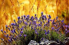 Lovely lavender in Provence