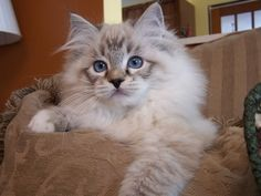Gorgeous Seal Lynx Point Mitted Ragdoll kitten