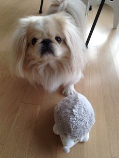 New toy...hedgehog.