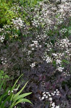 Anthriscus sylvestris 'Ravenswing'. Short lived plant. Biennial/perennial. House beds/fence beds.