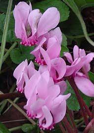 Cyclamen hederifolium - Herbst-Alpenveilchen