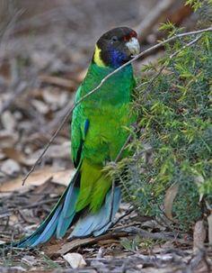 Australian Ringneck - Twenty Eight Parrot | BirdLife Australia