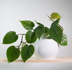 Some of the easiest and great looking vines and climbers that you can grow indoors. Check the list!
