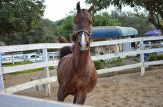 This Saddlebred horse nose is definitely kissable.