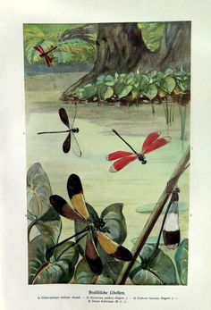 1920 Amazing DRAGONFLY print antique chromolithograph of