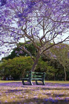 ~~Under the Jacaranda, New Farm Park, Brisbane, Queensland, Australia by noompty~~ Brisbane Queensland, Queensland Australia, Coleus, Land Of Oz, New Farm, Queenslander, Parcs, Popular Tree, Bonsai