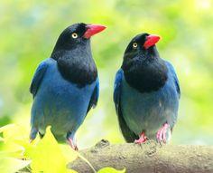 Taiwan Blue Magpie, taken at Yangmingshan, Taipei City, TAIWAN