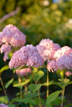 En vidjehortensia 'Invincibelle'   Zetas Trädgård Green Garden, Garden Inspiration, Hydrangea, Planting Flowers, Backyard, Victoria, Fruit, Vegetables, Plants