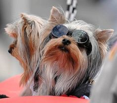 6f8ed30bc Mint Julip, a Yorkshire terrier belonging to Ray and Martha Jones, basks in  the attention of the crowd during the Mardi Gras Dog Parade.