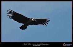 Cóndor Andino ( Vultur gryphus ) foto tomada en el Parque Nacional Quebrada del Condorito, en córdoba, Argentina