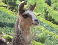 Láma - (Lama glama), Arequipa, Peru