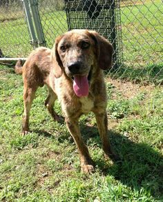 5/26/15♥♥ PLOTT HOUND SEEKS LOVING HOME♥♥♥♥ I AM A SWEET GUY, I JUST WANT TO LOVE YOU AND BE LOVED. ♥♥♥Please help me get adopted by sharing my picture. Thank you for helping me. I would love a family of my own xoxo           01/09/15 sl ~~32912C Hound • Young • Male • Large Scottsboro Animal Shelter Scottsboro, AL