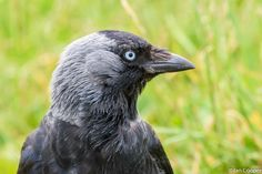 Taken at Bempton Cliffs. Couldnt resist photographing them as they came really close. They were after my sandwich. Jackdaw, Crow, Raven, Birds, Nature, Animals, Naturaleza, Animales, Animaux