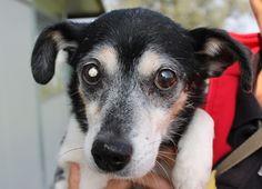Little Dixie is blind in one eye, but a precious dog that is looking for a good home! / Piccolo Dixie e' cieco in un occhio, ma per il resto e' dolcissimo e cerca casa! Per info: adozioni@leudica.org