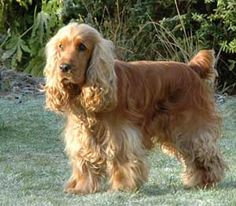I had a sweet Golden Cocker Spaniel called Bonny xoxox