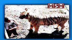 Tiger kills man in Delhi zoo after watching him 15 minutes