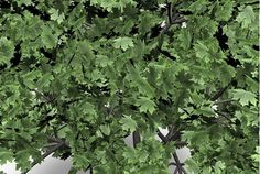 A 3D Norway Maple tree plant model for Poser and DAZ Studio in Poser 3D model format.