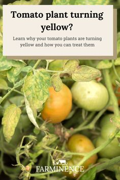 Why are my tomato plant leaves turning yellow? Learn to identify and treat yellow tomato leaves. Tips For Growing Tomatoes, Growing Herbs, Growing Vegetables, Tomato Garden, Tomato Plants, Tomato Plant Diseases, Determinate Tomatoes, Yellow Tomatoes, Gardens