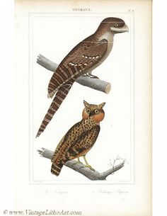 Original Antique Natural History Bird Print Print by RarePostCards