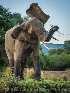 """""""Recently in the Lower Zambezi National Park in Zambia I spent an hilarious half-hour or so with a young elephant bull who, it appeared to all of us who witnessed it, simply wanted to have fun entertaining the humans"""". © www.darylbalfour.com / www.wildphotossafaris.com"""