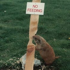You can't blame the eager beaver who is nibbling away at a wooden post marked 'no feeding'...