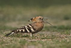 """https://flic.kr/p/qWUK6M   HOOPOE - Catching In Style   Camera - NIKON D7000 Lens - AF-S NIKKOR 300mm F/4 D IF-ED + AF-S TC 1.4 II E  Please press """"L"""" to view in LIGHTBOX. Thanks for critics and comments."""