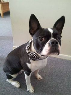 Boston Terrier with matching scarf