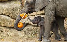 Elephants eat a pumpkin ahead of Halloween at Schoenbrunn Zoo in Vienna, Austria. Picture: Daniel Zup/Schoenbrunn/EPA