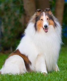 Rough Collie - love these - I think they are so so beautiful :) I had one when I was growing up -  loved that dog :(