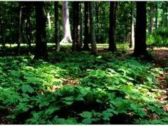 Forest Farming and Non-Timber Forest Products Defined: Learn the basics of forest farming, an integrated land-management system of agriculture & forestry. www.eXtension.org