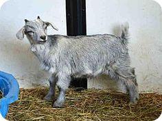 Union, MO - Goat. Meet BABY SWISS, a pet for adoption. http://www.adoptapet.com/pet/11375258-union-missouri-goat