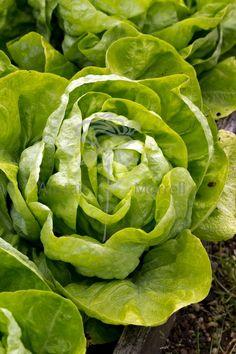 Lettuce – Alistair Morrell Photography