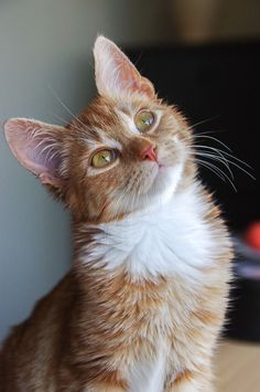Animals And Pets, Baby Animals, Cute Animals, Pretty Cats, Beautiful Cats, Cute Cats And Kittens, Kittens Cutest, Orange Tabby Cats, Tier Fotos