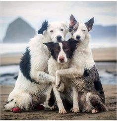 This is by far the best BFF vacation picture of Border Collies or any type of dog on earth hands down guaranteed.