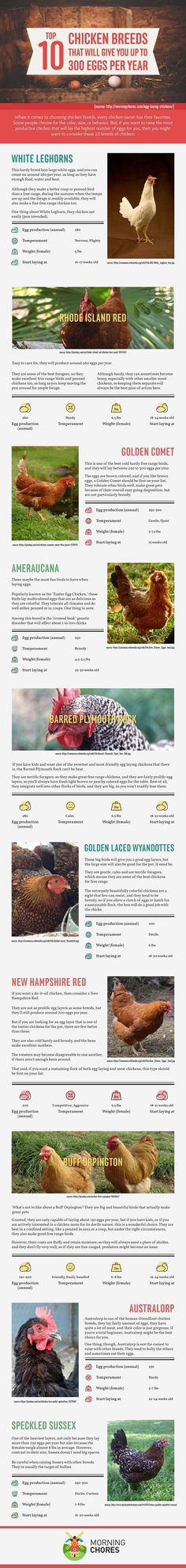 10 Best Egg Laying Chicken Breeds (up to 300 per Year!) 10 Best Egg Laying Chicken Breeds (up to 300 per Year!)<br> Make sure you're not raising the wrong hen. Here's 10 of the best egg laying chicken breeds that will give you up to 300 eggs per year. Best Egg Laying Chickens, Keeping Chickens, Raising Chickens, Raising Goats, Laying Hens, Chicken Life, Chicken Eggs, Chicken Houses, Fresh Chicken