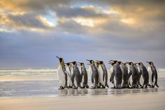 King Penguin Group on Beach at Sunset (Art Prints, Wood & Metal Signs, Canvas, Tote Bag, Towel) New Wallpaper Hd, Animal Wallpaper, Penguin Facts, Amazing Hd Wallpapers, King Penguin, Photo To Art, Batman Returns, Michelle Pfeiffer, Sunset Art