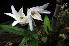 Dendroboard discussion: best orchids for vivariums