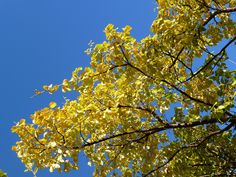 L'or du Chionanthus retusus  http://www.pariscotejardin.fr/2012/10/l-or-du-chionanthus-retusus/