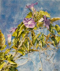 "morning glory bermuda 26""  x  22""  micheal zarowsky / watercolour on arches paper / (private collection)"
