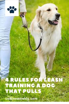 While leash training a puppy isn't necessarily a safety skill, it's important for your dog's quality of life. If it's fun to walk your dog because he walks nicely, you're more likely to give him the exercise that he needs! Click here to discover four rules for leash training a puppy that pulls. #canineweekly #leashtrainingapuppy #puppytrainingleashideas #trainingapuppy