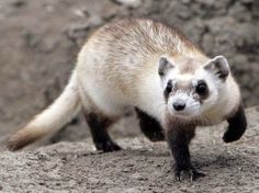 A Black Footed Ferret